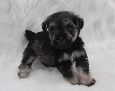 Toy and Teacup Schnauzers from Schnauzer Tiny Treasures Teacup Schnauzer, Miniature Schnauzer Black, Mini Schnauzer Puppies, Teacup Puppies, Schnauzers, Dogs 101, Tiny Treasures, Cute Dogs, Tea Cups