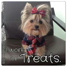 Yorkie Misa~ I work for TREATS