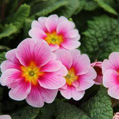 Rosa-farbene Primeln für Ihren Garten.
