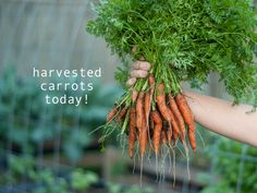 HOW TO grow carrots in your backyard. grow your own food, in this economy it makes sense and is so healthy for you.