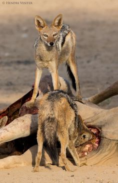 Black-Backed Jackal, Kgalagadi Transfrontier Park, Kalahari Desert, South Africa