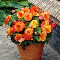 Red and Yellow-Red Picotee Tuberous Begonia, Begonia, Tuberous Begonia