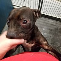 Pictures of Peppermiz a Pit Bull Terrier for adoption in Henderson, NC who needs a loving home.