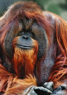 Chantek is the only orangutan that has ever learned to communicate with humans, using sign language. His sad story was made into a documentary.