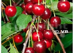 GRIOTELLA (novinka) Cherry, Fruit, Food, Essen, Meals, Prunus, Yemek, Eten