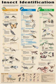 Insect Identification Laminated Poster 24x36 by Feenixx Publishing. Insect collecting is extremely popular with kids and many classes assign it as a school project. This poster shows examples of all 3