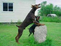 Doberman on a rock