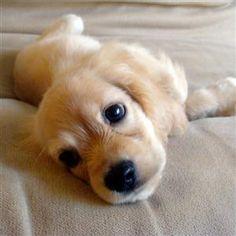 Cocker Spaniel Puppy sweet little thing