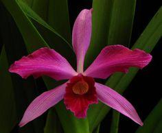 Laelia purpurata striata - Brookside Orchids Gallery