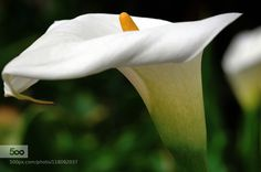 Calla Lily (2) -Taiwan- by shih-wen. Please Like http://fb.me/go4photos and Follow @go4fotos Thank You. :-)