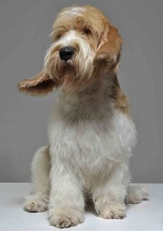 GBGV Petit Basset Griffon Vendeen, Griffon Dog, Animals And Pets, Cute Animals, Feel Good Pictures, Dog Best Friend, Basset Hound, Dogs Of The World, Girl Humor