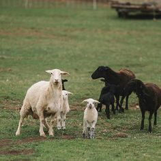 Lambs at West Wind Acres are born in the spring.  We look to nature and find that wild deer give birth in April or May so we follow suit.  The lambs thrive and grow quickly on the fresh grass.  The males are read for market just before winter and the females are mature enough to breed. . . . . . . . #nyfarms #farmtotable #westwindacres #artisanmeat #grassfedbeef #pastureraisedpork #grassfedlamb #meatCSA #meatsubscription #meat #healthymeats #natural #nonGMO #healthy #healthyfood #foodporn…