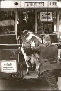 Yup, that's a cow being pushed onto a bus, in France. 1960. Robert Doisneau