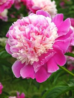 Cora Stubbs Peony. Another pleasing pink variety--a possibility for the Memorial Garden.