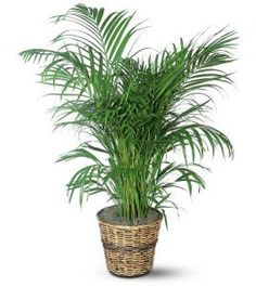 Palm Plant This tropical palm enjoys moderate to bright light. Although its leaves arch romantically downward, it's sure to uplift any home or office. One areca palm plant arrives in a rattan pot cover. Outdoor Plants, Garden Plants, Outdoor Gardens, Buy Plants, Plants Indoor, Hanging Plants, Areca Palm Plant, Inside Plants, Herb Garden