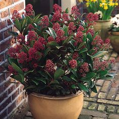 1000 images about skimmia japonica on pinterest evergreen shrubs red berries and shrubs. Black Bedroom Furniture Sets. Home Design Ideas