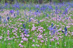 Camas lily and Rosy plectritis blooming at Camassia Natural Area, in West Linn, OR