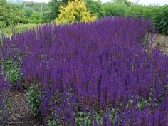 Salvia May Night - Ultra hardy & deer proof perennial for sun. Perfect with Daylilies, KnockOut Roses, or Gaillardias