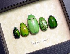 Shiny Green Jewel Leaf Beetles Real Framed Insect Collection 8090. $49.99, via Etsy.