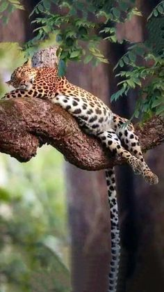 It's a leopard Lazy-boy. Nature Animals, Animals And Pets, Funny Animals, Cute Animals, Big Cats, Cool Cats, Cats And Kittens, Serval, Beautiful Cats