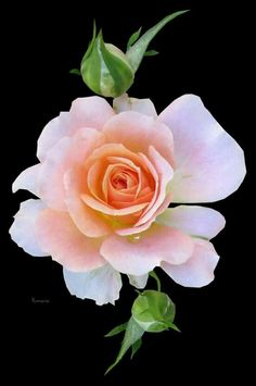 Types Of Flowers, Cut Flowers, White Flowers, Beautiful Rose Flowers, Exotic Flowers, Imagen Natural, Rose Pictures, Colorful Roses, Flower Wallpaper