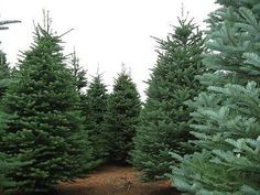 Abies Procera Noble Fir Trees - 3 Seeds