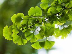 Majestueux et robuste, le ginkgo biloba peut vivre jusqu'à quatre mille ans ! C'est aussi un arbre généreux qui nous fait profiter de ses atouts...