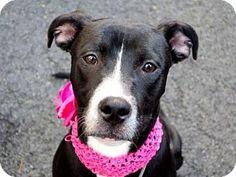 New York, NY - Labrador Retriever Mix. Meet UMI, a dog for adoption. http://www.adoptapet.com/pet/13470825-new-york-new-york-labrador-retriever-mix