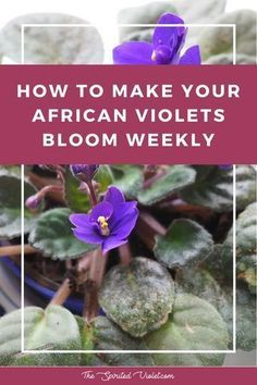 Houseplants for Better Sleep Explaining How To Make Your African Violets Bloom Weekly And Keep Your House Plant Looking Gorgeous Via The Spirited Violet Indoor Vegetable Gardening, Home Vegetable Garden, Garden Plants, Container Gardening, Organic Gardening, Indoor Plants, Gardening Tips, Gardening Quotes, Pot Plants