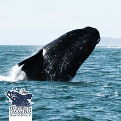 Baleias francas na Praia do Rosa