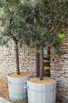 Olive trees. I love IDEA of containers for trees but these containers must go...need a cleaner, modern look.