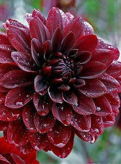 ~~Dahlia Karma Chocolate   Reaching about 3ft high, everything about the plant is dark: the foliage is rich purple-bronze in color, the stems are reddish-black and the elegant 5 inch waterlily flowers open deep a Bourneville chocolate color and mature to deep black-tinted crimson   My Garden~~