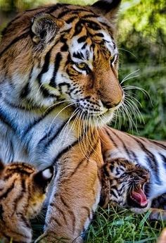 Tiger tending her cubs