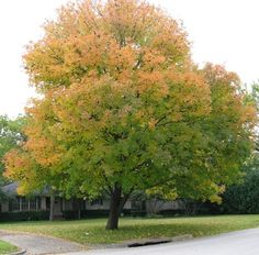 Ash, Texas (Fraxinus texensis) A rounded, 40'-50' native tree with bright green samaras in the spring and brilliant fall color (ranging from gold to bronze-red to purple depending on weather and individual genetics). Prefers very little water and excellent drainage. Don't confuse it with the Fan-Tex ash, which does not grow well here; the real McCoy is a long-lived, trouble-free and beautiful shade tree.