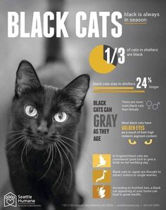 cat facts Seattle Humane Society to Celebrate Black Friday by Waiving Adoption Fees for Black Cats Crazy Cat Lady, Crazy Cats, Black Cat Appreciation Day, Seattle, Photo Chat, All About Cats, Cat Facts, Humane Society, Beautiful Cats