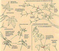 Developing Ramification on Deciduous Bonsai: 2 | Bonsai Bark