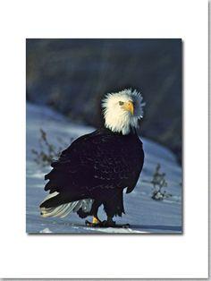 Bad Hair Day eagle http://wildbynatureshop.com