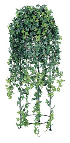 English ivy reduces asthma symptoms: Place it in the kitchen as it can remove formaldehyde found in cabinets and paint.