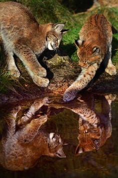 Lynx kittens play with water