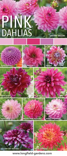 Pink dahlias add a bold or delicate touch to your garden.