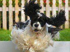 Cocker Spaniel in agility training