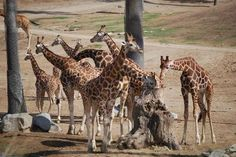 Tree protection giraffes San Diego Zoo, Giraffes, Trip Advisor, Camel, Safari, Animals, Animales, Animaux, Camels