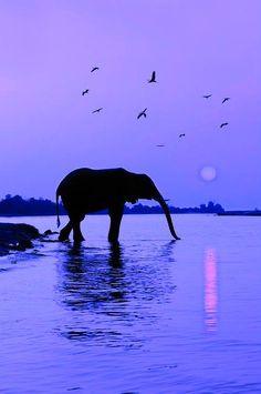Sunset With Elephant (Loxodonta africana), Sunset, Chobe River, Caprivi Region, Namibia by Christian Heeb Beautiful Creatures, Animals Beautiful, Cute Animals, Elephas Maximus, Chobe National Park, African Sunset, Elephant Love, Purple Elephant, Elephant Poster