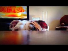 Benny The Bulldog Playing Peek-a-Boo is Total Perfection! Puppy Play, Puppy Love, Dog Pictures, Cute Pictures, Baby Pugs, Dog Baby, Bulldog Puppies, Terrier Puppies, Boston Terrier