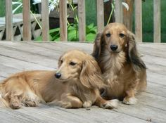 long haired english cream dachshund - Google Search