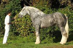 Resultado de imagen de french draft horse boulonnaise