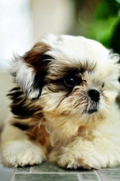 Shih Tzu!!!  This is my favorite type of doggie!