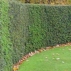 The Ideal Evergreen Hedge  - • Easy to grow • Drought tolerant, once established • Low maintenance • Pest & disease resistant • Adapts to many soils  This all around American winner is naturally adapted to growing in native USA soil. Unlike other holly trees, this specimen evergreen tree...  American Holly Tree