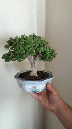 Jade Plants, Growing Plants Indoors, Plants, Micro Garden, Flower Garden Plants, Bonsai Tree Types, Jade Tree, Trees To Plant, Succulent Garden Diy