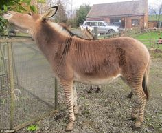 The strangest zoo in Britain? See a zedonk, a zorse and a Zonkey as cross-bred horses go on show | Mail Online